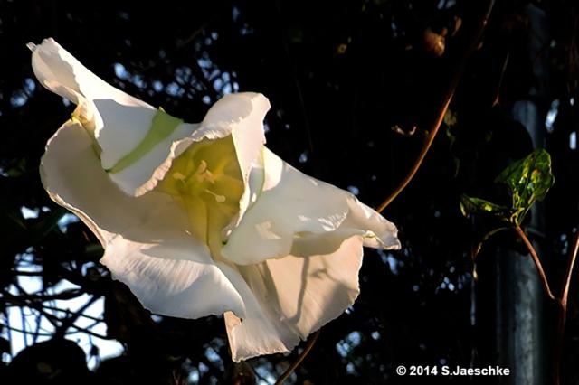 Post_2015-05-28B_Image_MoonflowerClosing