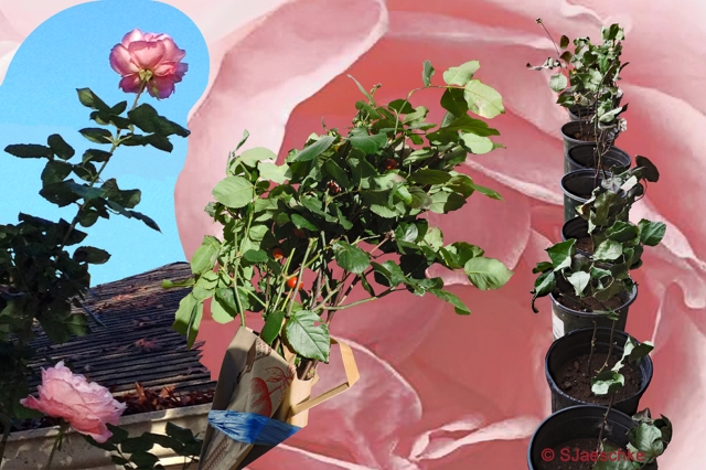 Post_2016-02-10_RoseCollage